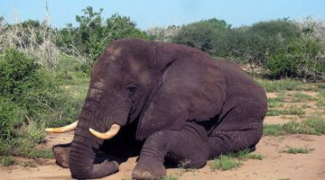 African elephants have 10 years left before extinction
