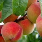 Cape stone fruit farmers develop water wise strategy