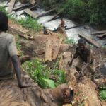 Illegal logging returns to Congo forests despite carbon threat