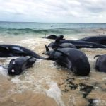 Why 150 whales have beached in Australia