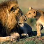 Cash before conservation – the commoditization of lions in South Africa