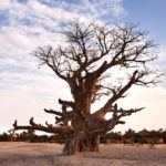 Climate change suspected in unprecedented African baobab die out