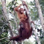 Borneo's last remaining orangutans threatened by illegal logging