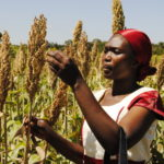 Keeping tabs on genetically modified crops