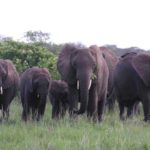 Massive elephant relocation a win-win for conservation in Africa