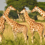 Africa's silent giraffe extinction: the long and short of it