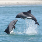 Are Heaviside's dolphins' change of communication sounds a risk?