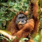 Scientists urge Indonesian president to nix dam in orangutan habitat