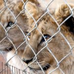Lion breeding industry harming SA's reputation according to new poll