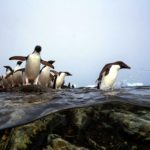 Krill fishermen curb harvest to protect penguins around Antarctic Peninsula