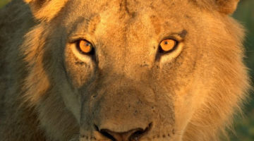 Calls for captive lion breeding ban welcomed by civil society