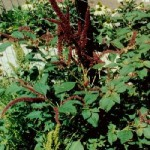 attack-of-the-pigweed