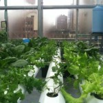rooftop-garden-becomes-supermarkets-supply-chain
