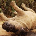2-more-white-rhinos-poached-in-brits