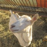 karoo-cheese-from-mellow-goats