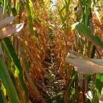 gm-maize-field-trials-threaten-social-and-environmental-health