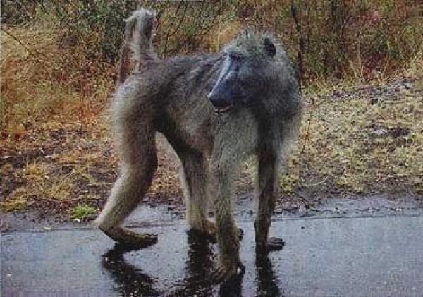 stop-killing-baboons-in-mpumalanga