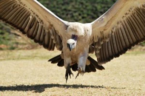 save-the-cape-vulture