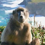 no-more-mountain-baboon-killings