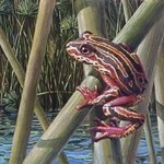 listen-for-the-painted-reed-frogs-whistle