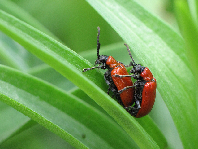 lily leaf beetle invasive alien pest control eco2