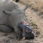 eight-rhinos-killed-and-dehorned-in-the-kruger-national-park