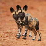 save-the-african-painted-dog