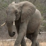 Amarula Trust Elephant Research