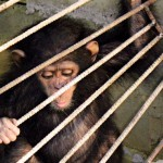 an-expedition-to-save-an-infant-chimp