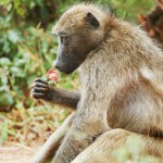 stop-baboons-being-killed-in-the-cape