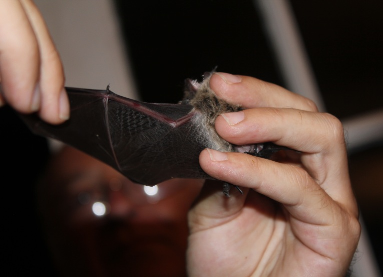 bats wind power 2