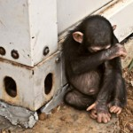 orphaned-chimpanzee-infant-rescued-thanks-to-swift-action