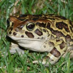 more-than-80-toads-recorded-as-migration-begins