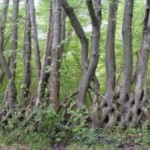 living-trees-as-fence-posts
