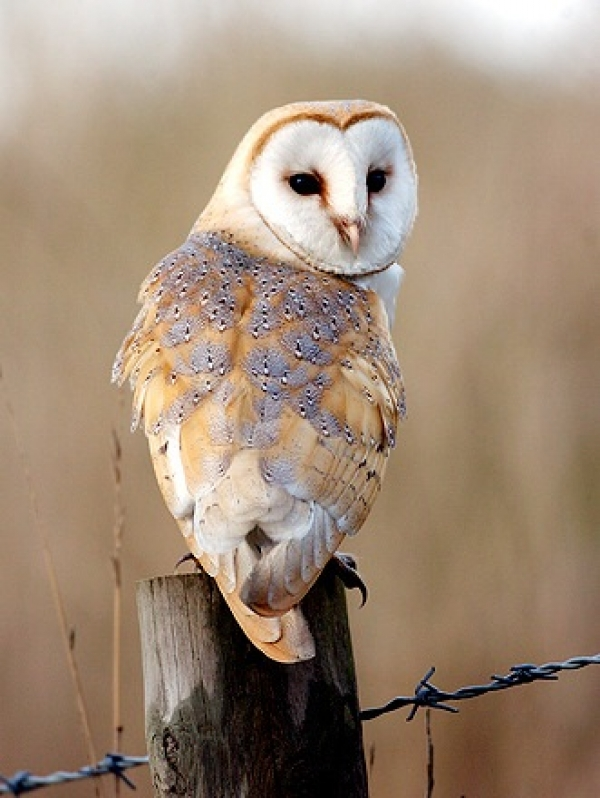 save-the-owls-help-your-garden