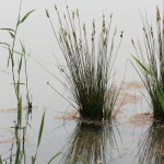 identifying-sas-wetland-plants