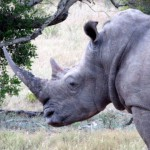 a-contribution-to-rhino-anti-poaching-considerations