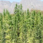 r15m-hemp-project-goes-to-seed