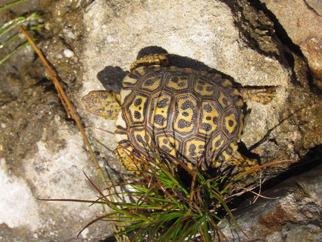 Simonskloofbaby tortoise