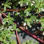 wild-about-weeds-part-4-purslane