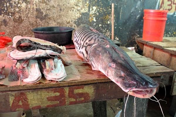 world fish migration day amazon 2 catfish