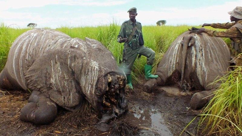 elephant_missing-face-europe-africa-slaughter-endangered2